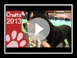 Race variée - Grand chien de montagne suisse - Crufts 2013