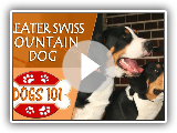 Dogs 101 - GREATER SWISS MOUNTAIN DOG - Top Dog Facts About the GREATER SWISS MOUNTAIN DOG