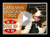 Chiens 101 - GRAND CHIEN DE MONTAGNE SUISSE - Top Dog Faits sur le GRAND CHIEN DE MONTAGNE SUISSE