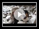 Murphy: Grand chien de montagne suisse