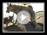 Cães de trenó da Groenlândia