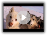 Greenlandic Dogs by Avigiaq - Thule Expedition - 2004