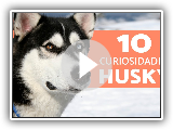 10 things you did not know about the siberian husky