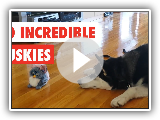30 Unglaubliche Huskys | Funny Dog Video Compilation 2017