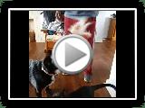 Bassador | Bassador Spiele mit schwarzer Katze | Cat Friendly Dog Breed