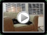 verrücktes Bassador (basset / Labrador) spielen auf der Couch