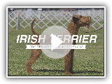 IRISH TERRIER: FIVE THINGS YOU SHOULD KNOW