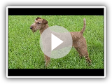 Dog Breed Video: Irish Terrier