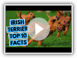 Irish Terrier - TOP 10 Interesting Facts
