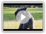 Terrier Kerry Bleu - (Kerry Blue Terrier)  Race de chien