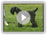 Kerry Blue Terrier - AKC Hundezucht-Series