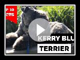 Kerry Blue Terrier - oben 10 Fakten