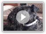 Kerry Blue Terrier(12 months): spring, country house, new haircut