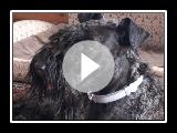 Kerry Blue Terrier(12 Monate): Frühling, Landhaus, neue Frisur