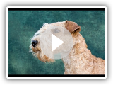 Lakeland terrier - Dog Breed