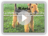Breeds of dogs, Lakeland Terrier