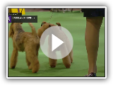 Lakeland Terriers | Breed Judging 2019