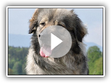 Karst Shepherd / Karst Shepherd Dog / Breed of dog / Dog Breed