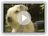 Sealyham Terrier - AKC Hundezucht-Series