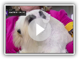 Sealyham Terrier | Breed zu urteilen 2019