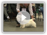 Sealyham Terrier - Best of Breed