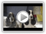 English Cocker Spaniel Dog Breed - Amazing Facts