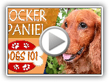 Dogs 101 - ENGLISH COCKER SPANIEL - Top Dog Facts About the ENGLISH COCKER SPANIEL