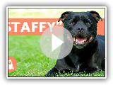 Staffordshire bull terrier - Características, character and training