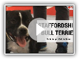 Staffordshire Bull Terrier, the truth about this breed