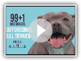 Staffordshire Bull Terrier / 99+1 Races de chiens