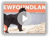 NEWFOUNDLAND DOG - Profile of a Hero Breed