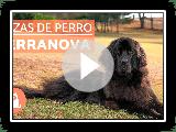 El perro Terranova - RAZAS de perro GIGANTE
