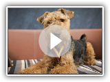 Bruno - Welsh Terrier - 4 Semanas Dog Training Residencial