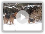 Airedale Terrier Lenny & Galês Terrier Martin #11