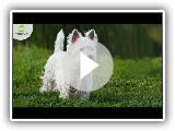 How are Westies dogs?