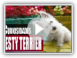 8 Curiosidades interessantes do Westy Terrier