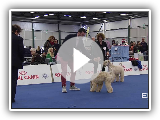 BASTIA2016 - SAB08. FOKUS: Irish Soft Coated Wheaten Terrier