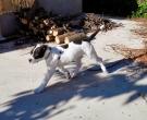 Dogo-espanol-(10)