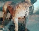 Dogo-espanol-(3)