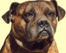 Dogo-espanol-(4)