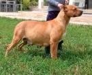 Dogo-espanol-(9)