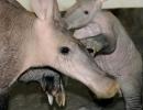 aardvark1