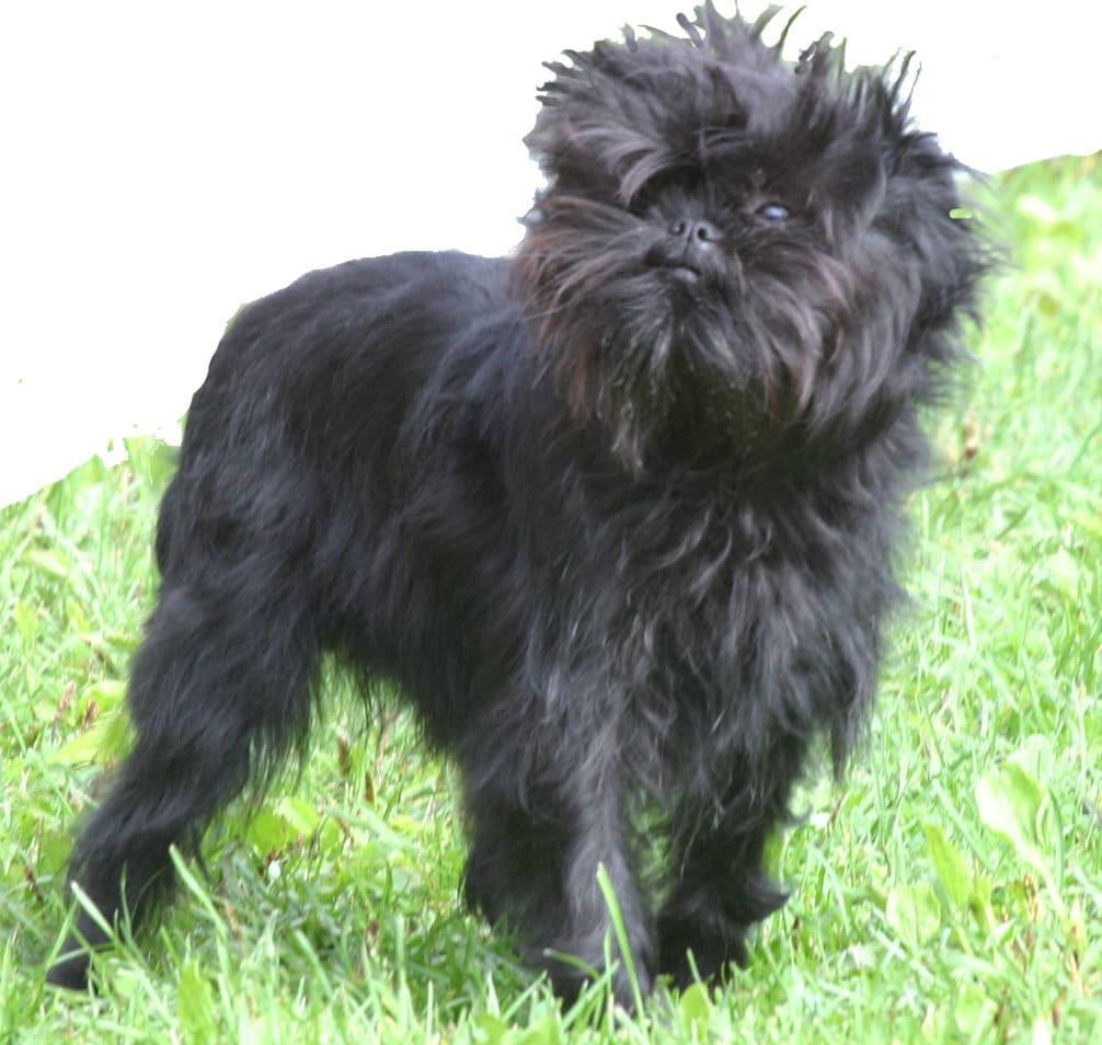 Affenpinscher - Dogs breeds - Tipo Pinscher y Schnauzer   Pets