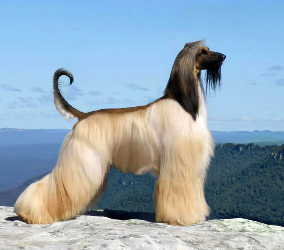 Afgan: Afghan Hound - Dogs Breeds - Longhaired Sighthound