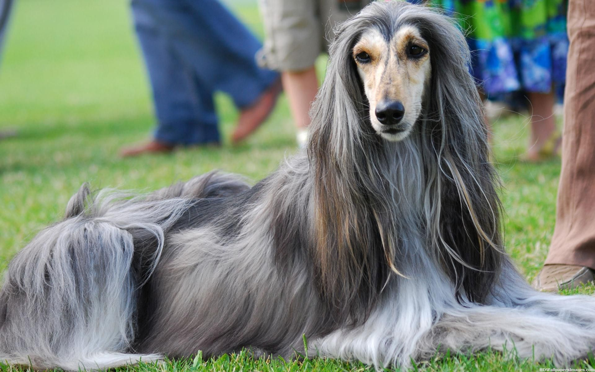 Pictures Of Afghan Hound Dogs