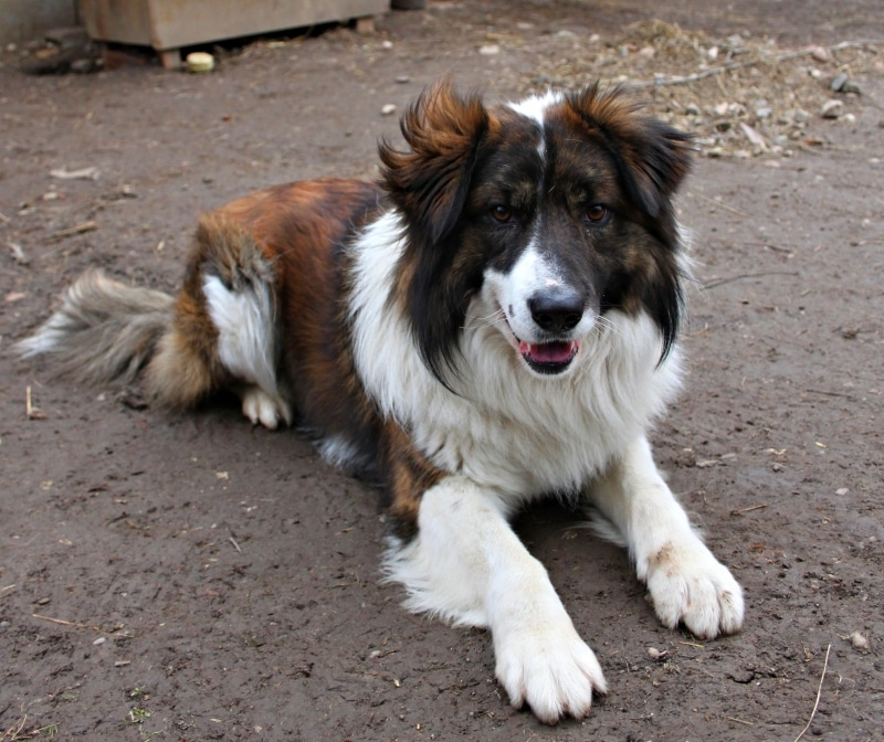 Aidi Dogs Breeds Molosoides And Mountain Dogs Pets