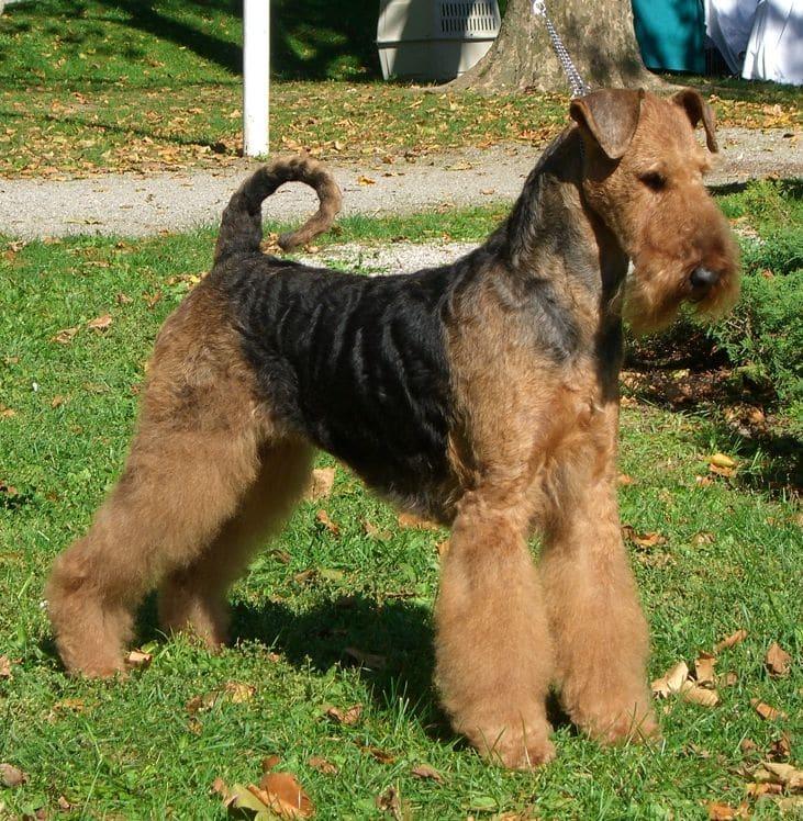 AIREDALE Terrier  Hunderassen  Terrier Größe  Haustiere