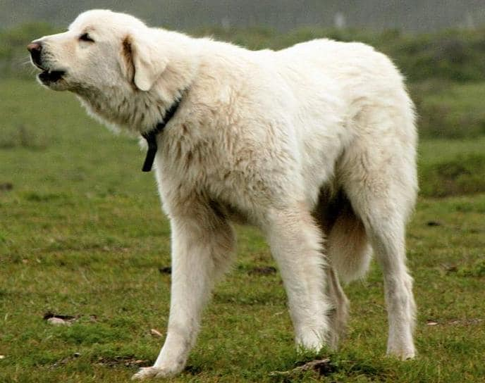 Akbash Dogs Breeds Livestock Guardian Dogs Pets