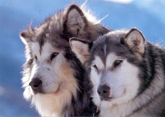 Alaskan Malamute Dogs Breeds Pets
