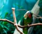 Amazona-Cubana-(6)